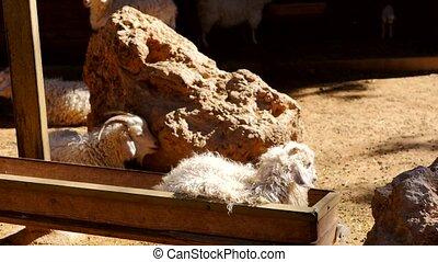 Feeding goats in the zoo