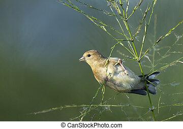 Feeding Goldfinch - An American Goldfinch hangs onto a wild ...