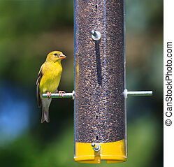 Feeding Goldfinch - With its bold gold and yellow feather in...