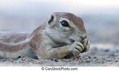 Feeding ground squirrel - Close-up of a feeding ground...