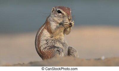 Feeding ground squirrel - Ground squirrel (Xerus inaurus)...