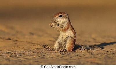 Feeding ground squirrel - Small ground squirrel (Xerus...
