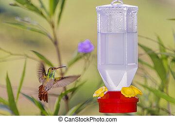 Feeding Hummingbird