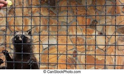 feeding hungry raccoons in zoo