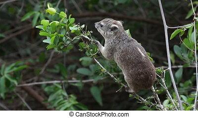 Feeding hyrax
