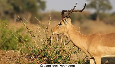 Feeding impala antelope - A male impala antelope (Aepyceros...