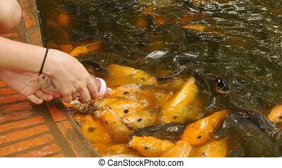 Feeding Koi fish with milk bottle in farm