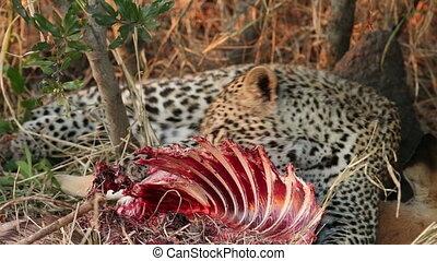 Feeding leopard - A leopard (Panthera pardus) feeding on its...