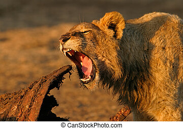 Feeding lion - Young lion feeding on a carcass, South Africa...