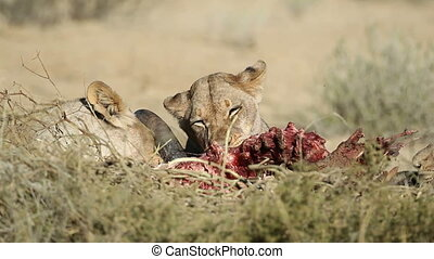 African lions (Panthera leo) feeding on the carcass of a wildebeest, Kalahari, South Africa