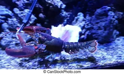 Feeding lobster. Exotic lobster in a big aquarium - Feeding...