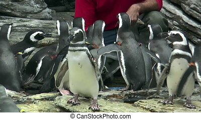 feeding magellanic penguins