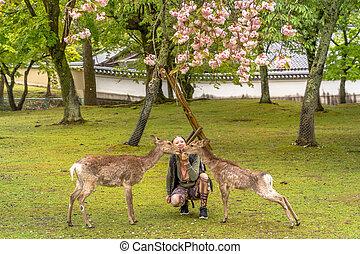 Feeding Nara deer Hanami