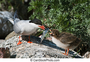 Feeding of a baby bird. - The Common Tern (Sterna hirundo)...