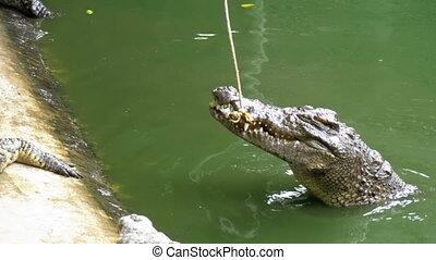 Feeding of Crocodiles Lying on the Ground near the Green...
