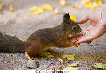 Feeding of the squirrel from a hand in autumn park