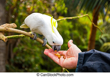 Feeding of White cockatoo in Loro Park in Tenerife, Canary islands, Spain