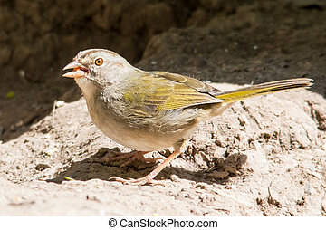 Feeding olive sparrow