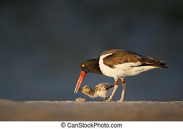 Feeding Oystercatcher Chick