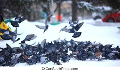 Feeding pigeons in winter park. HD. 1920x1080