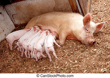 Feeding piglets with sow - Eight cute little piglets sucking...