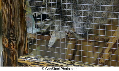 Feeding raccoon in zoo cage