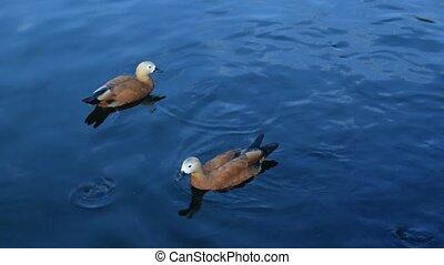 Feeding ruddy shelducks in pond - Feeding two cute ruddy...
