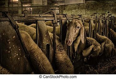 Feeding sheep in a farm.