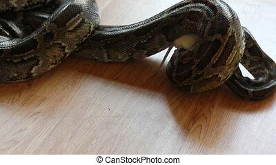 feeding snake - python eating rat