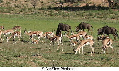 Feeding springbok antelopes and wil - Herd of springbok...