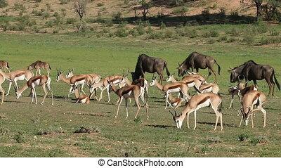 Feeding springbok antelopes and wil - Herd of springbok...