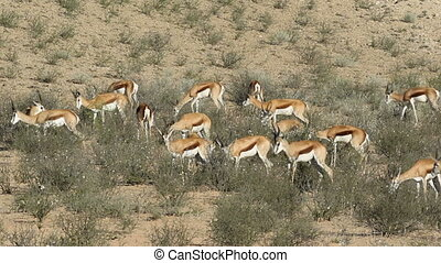 Feeding springbok antelopes - Herd of springbok antelopes...