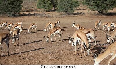 Feeding springbok
