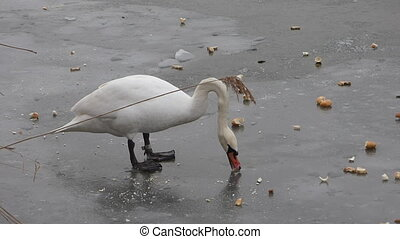 Feeding swan on frozen pond