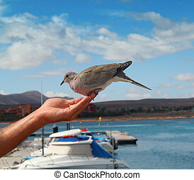 Feeding the dove from hand.