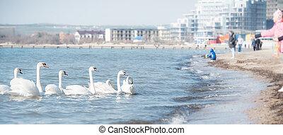 feeding the swans on winter sea