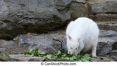 feeding white albino kangaroo, Red necked Wallaby - feeding...