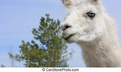 feeding white lama