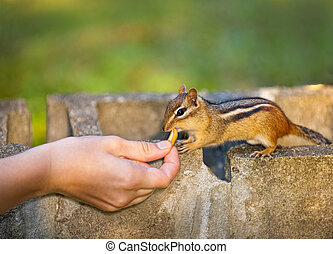 Female hand feeding peanut to wild chipmunk