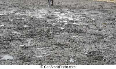 Feet of horse running on mud. Close-up of legs of stallion...