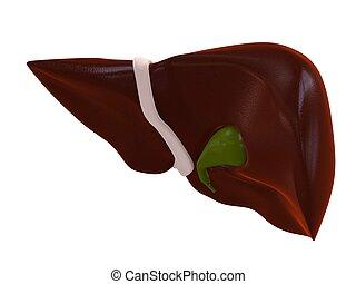 fegato, umano