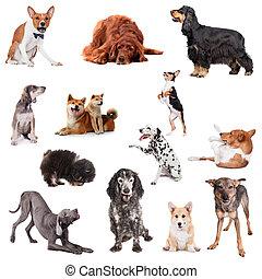 fehér, csoport, kutyák, játék