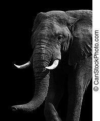 fehér, fekete, művészi, elefánt