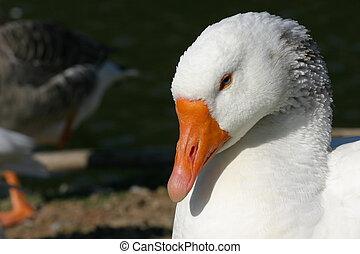 fehér, kacsa