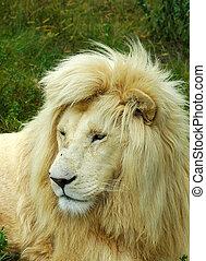 fehér, oroszlán, arc