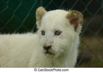 fehér, oroszlán cub