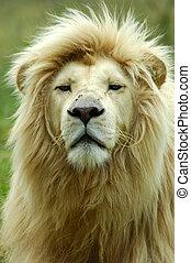 fehér, oroszlán