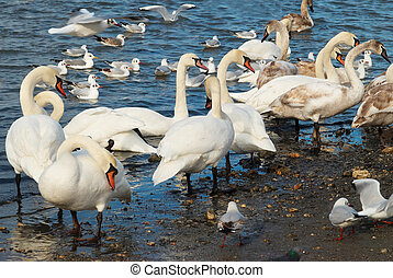 fehér, swans.
