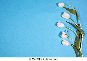 fehér, tulipánok, képben látható, blue háttér, mint, egy, kártya