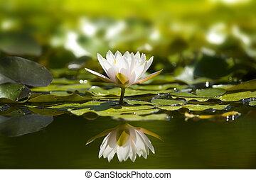 fehér, waterlily, alatt, természet, pond.